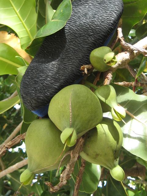 recherche le nom de l 39 arbre barringtonia neocaledonica. Black Bedroom Furniture Sets. Home Design Ideas