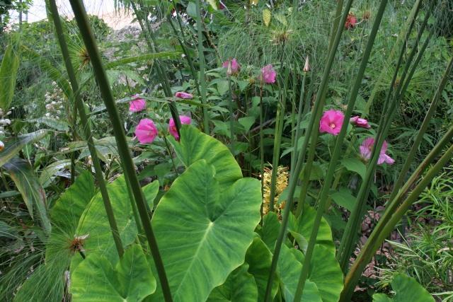 Hibiscus moscheutos au jardin forum de jardinage for Plante lacustre