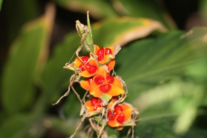 Un nouvel hedychium fait des graines dans mon jardin for Plantes decoratives jardin