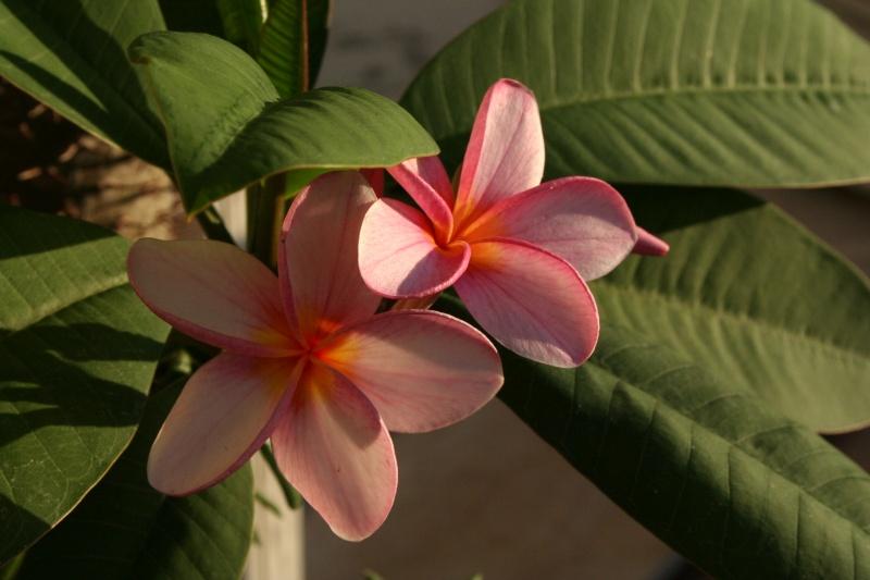 Plum ria en fleurs for Vente de fleurs par correspondance