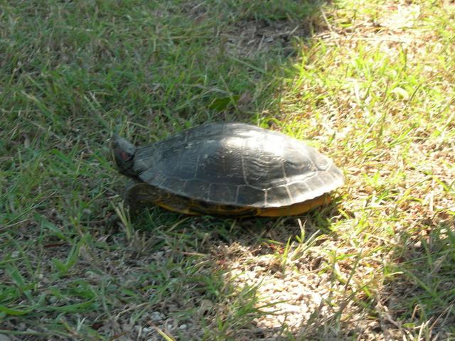 Conseils pour une tortue de floride - Bassin tortue floride strasbourg ...