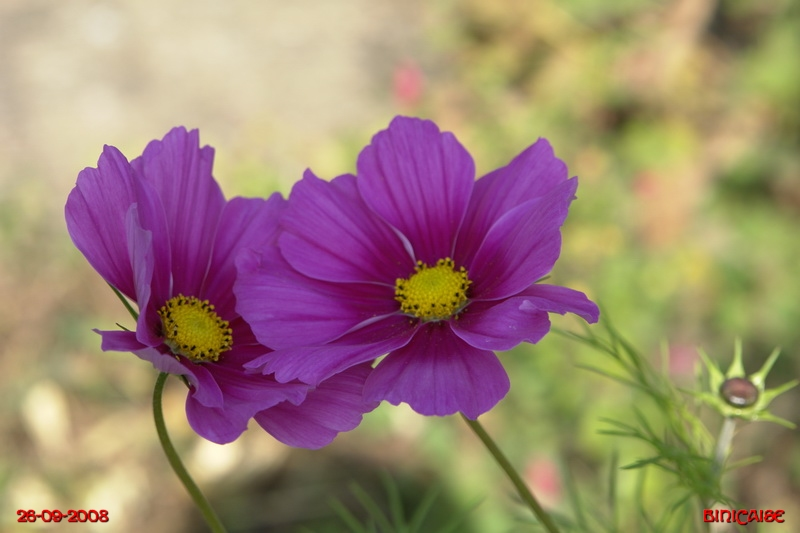 Mes derniers cosmos. dans Fleurs et plantes cosmos10