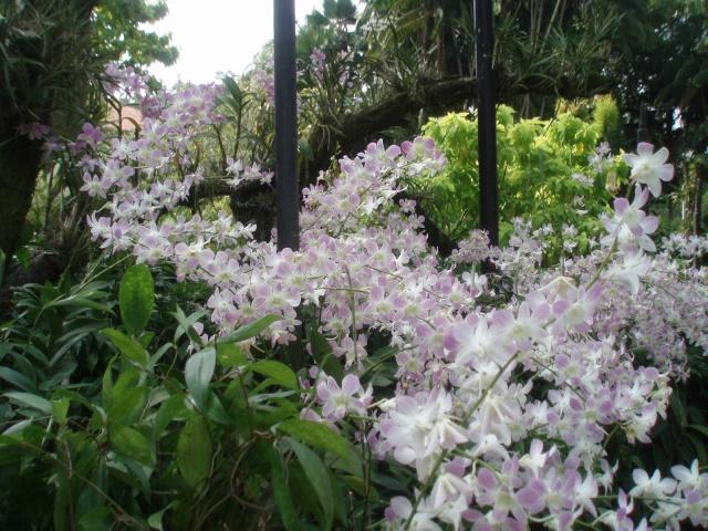 Jardin botanique de singapour le sanctuaire des orchid es for Jardin botanique singapour