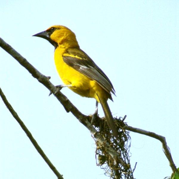 Photo Oriole à gros bec (Icterus gularis)