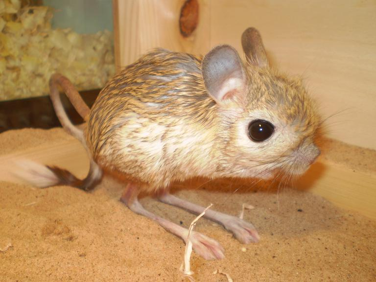Pair of Greater jerboa...