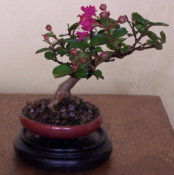 mini crape myrtle blooming