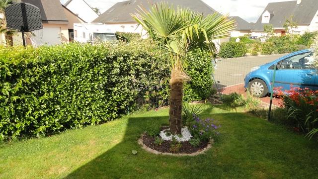 Le forum des fous de palmiers trachycarpus fortunei qui a du mal a red marrer - Quand tailler un palmier ...