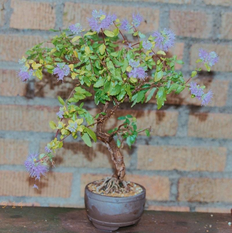 rare species of bonsai