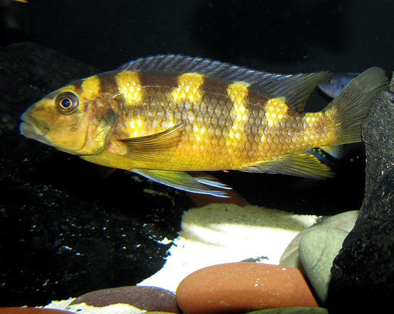 Images and Places, Pictures and Info: malawi cichlids for sale