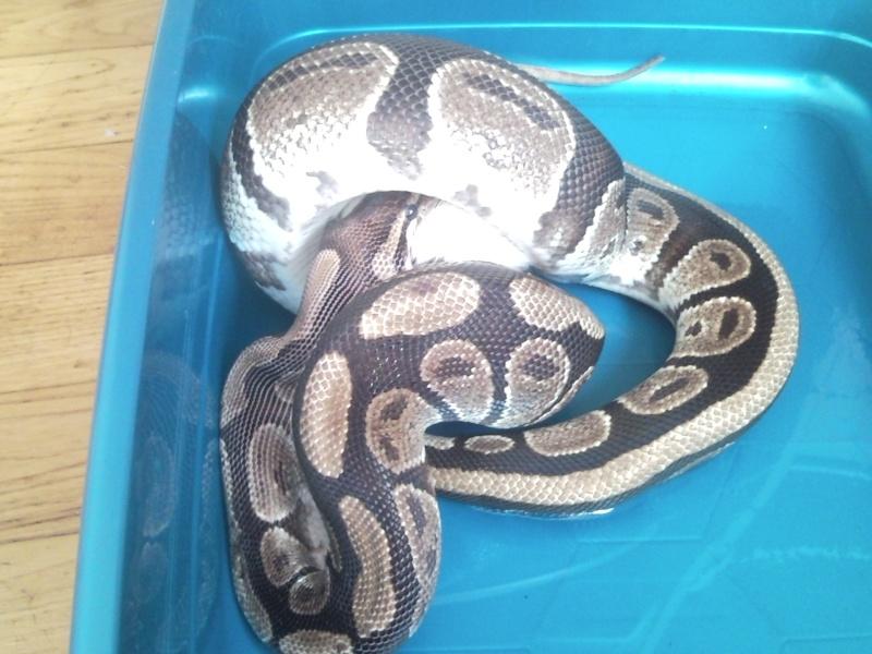 Mâle python regius