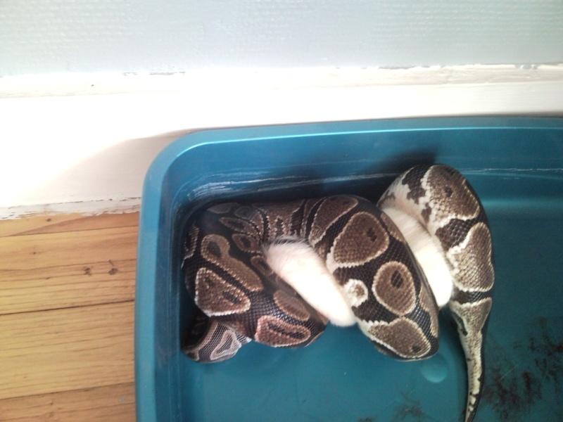 Femelle python regius