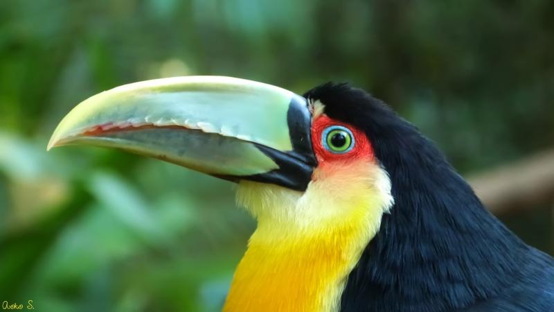 Toucan bec vert for Oiseau bec rouge
