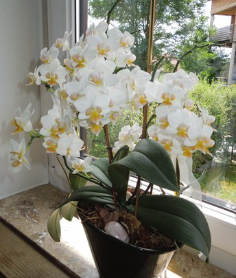 welche orchidee ist das. Black Bedroom Furniture Sets. Home Design Ideas