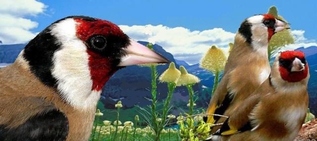 forum o pticama pjevicama